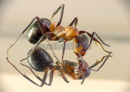 primer plano insecto hormiga espejo aumento