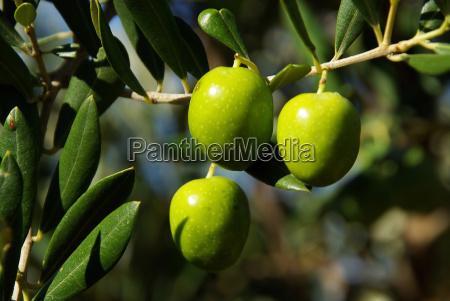 oliva olivenbaum ast zweig frucht baum