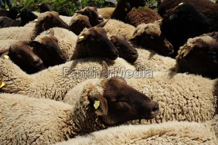 agricultura oveja ganado nutztiere nutztierhaltung viehwirtschaft