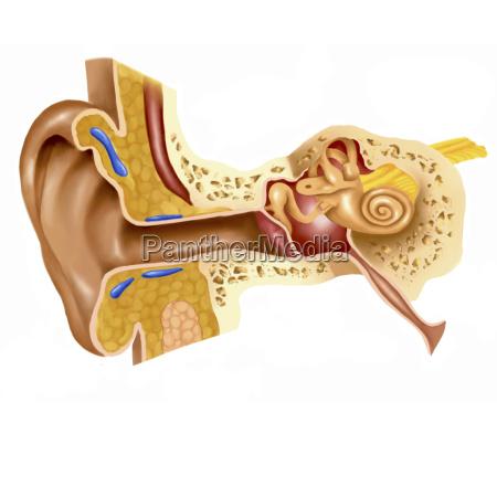 cross section of human ear