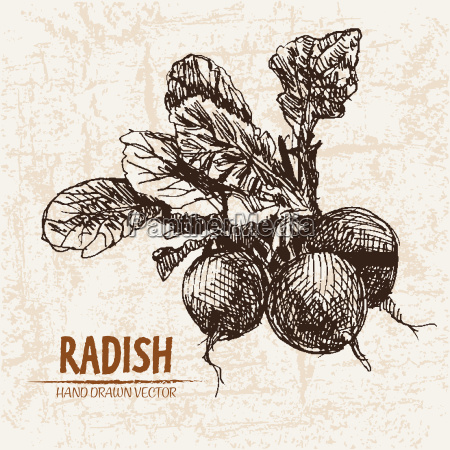 digital vector detailed line art radish